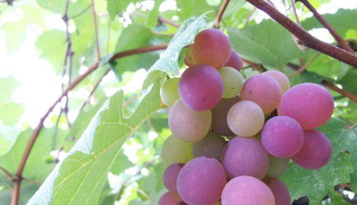 果物に関する表現  例文(1) Prefiero las uvas sin pepitas.