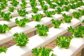 畑仕事に関する表現  例文(3)  Quiero cultivar las verduras.