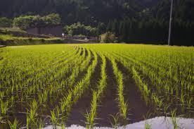 生産する  例文(1)  Se produce mucho arroz en Japon.